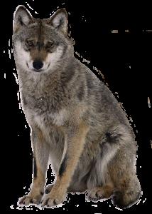 zitwolf